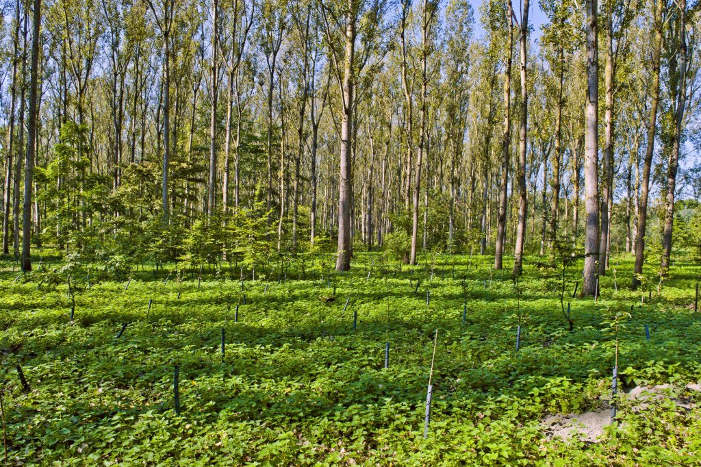 Plantation de jeunes arbres. Le Bois des Forts. Coudekerque. Nord. 30/09/2011.
